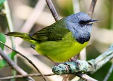 Workshops, May 17, 2018, 05/17/2018, Spring Birding Tour