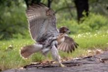 Birdwatchings, July 14, 2019, 07/14/2019, Evening Hawk Watch