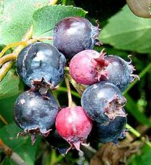 Park Walks, June 27, 2021, 06/27/2021, (In-Person) Foraging Tour in Central Park: Sweet Berries, Wild Herbs and Vegetables, and More