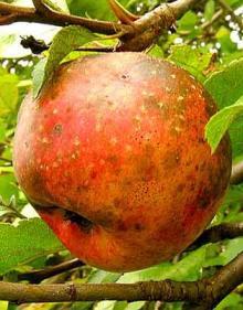 Park Walks, August 23, 2020, 08/23/2020, Foraging Tour: elderberries, peaches, cherries, apples (in-person)