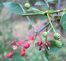 Park Walks, November 14, 2020, 11/14/2020, Foraging Tour: Sechuan Pepper, Ginkgo Trees, Black Nuts, American Persimmon and More (in-person)