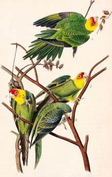 Slide Lectures, May 06, 2021, 05/06/2021, The Life and Death of the Carolina Parakeet: Learn About this Extinct Parrot Species (virtual)