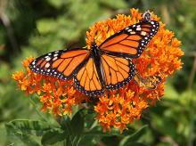 Festivals, September 19, 2021, 09/19/2021, 4th Annual Monarch and Pollinator Festival