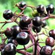 Park Walks, August 13, 2017, 08/13/2017, Foraging tour: Hunt for Wild Elderberries and more
